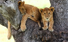 Lioness, tree, rest, look