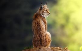 Lynx olhar para trás, sente-se