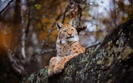 Preview wallpaper Lynx rest, nature, wildcat
