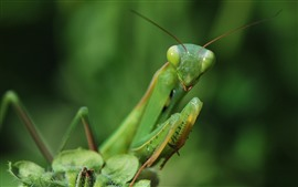 Preview wallpaper Mantis, green insect