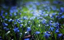 Preview wallpaper Many blue flowers, grass, spring