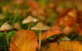 Cogumelos, folhas amarelas, moídas