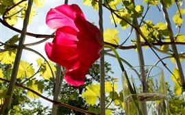 Uma tulipa vermelha, copo de vidro, videiras