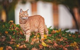 Gato laranja, folhas secas, grama