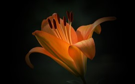 Preview wallpaper Orange lily flower, petals, black background