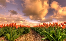 Tulipas laranja, campo de flores, nuvens, crepúsculo