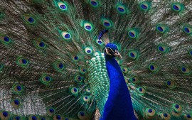 Preview wallpaper Peacock open tail, beautiful feathers, bird