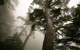 Preview wallpaper Pine trees, trunk, fog, morning