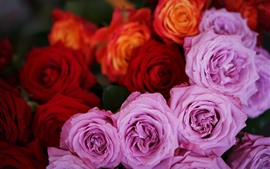 Pink and red roses, flowers close-up