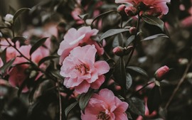 Preview wallpaper Pink camellia, flowers, spring