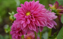 Preview wallpaper Pink dahlias, flowers macro photography