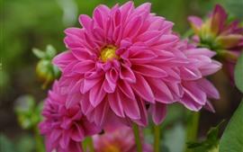 Dálias cor-de-rosa, fotografia macro das flores