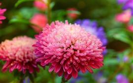Pink flower macro photography, petals, chamomile