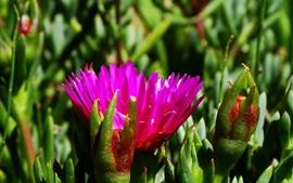 Flor rosa, pétalas, plantas, caule