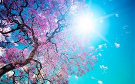 Árvore de flores cor de rosa, Primavera, céu azul, raios de sol