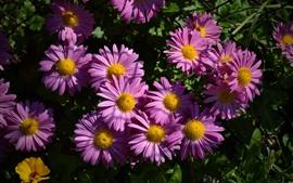 Flores gerbera rosa, pétalas, sol