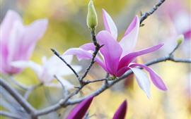 Pink magnolia, flowers, petals, twigs, spring