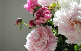 Preview wallpaper Pink peony flowers, gray background