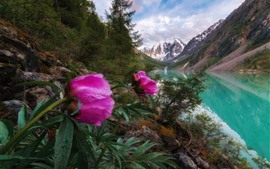 Preview wallpaper Pink peony flowers, river, mountains