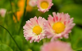Preview wallpaper Pink petals daisy, spring