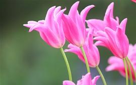 Tulipas cor de rosa, flores, primavera