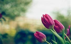 Tulipas cor de rosa, flores, caule, folhas, nebulosas
