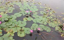 미리보기 배경 화면 핑크 수련, 연못, 공원
