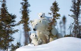 Ursos polares, família, árvores, neve