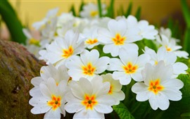 Primula, white flowers bloom, spring