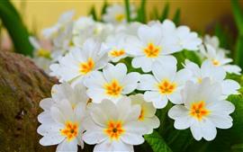 Aperçu fond d'écran Primula, fleurs blanches, printemps