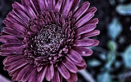 Preview wallpaper Purple chrysanthemum, petals