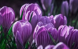 Preview wallpaper Purple crocus, petals, macro photography