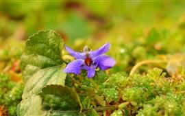 Purple flower close-up, plants, water droplets