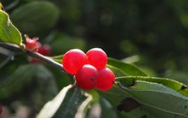 Grosellas rojas, bayas, hojas