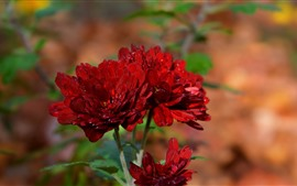 Preview wallpaper Red flowers, chrysanthemum, water droplets