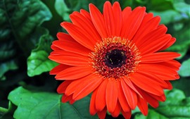 Preview wallpaper Red gerbera macro photography, petals