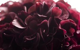Hortênsia vermelha, fotografia macro de pétalas