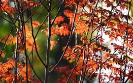 Красные листья, деревья, ветки, осень