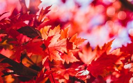 Red maple leaves, autumn, sunshine