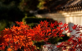Red maple leaves, blurry background, autumn