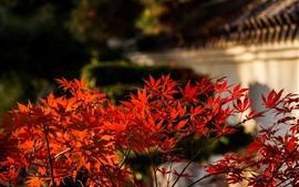 Folhas de bordo vermelho, fundo desfocado, outono
