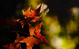 Preview wallpaper Red maple leaves, hazy background