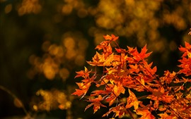 Preview wallpaper Red maple leaves, twigs, autumn