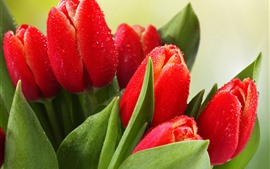Red tulips, water droplets, green leaves