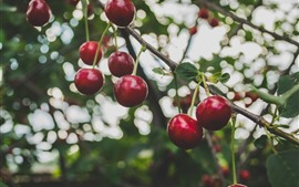 Preview wallpaper Ripe cherries, fruit, twigs