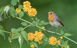Pássaro robin, flores amarelas