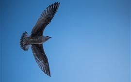 壁紙のプレビュー シーガルの飛行、翼、空