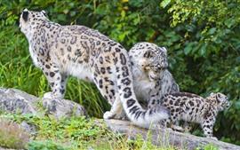 Snow leopard family, wildlife