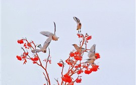 Некоторые птицы, красные ягоды