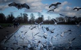 Некоторые птицы, чайки, полет, пруд
